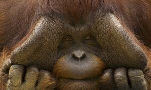 Close up face portrait of male orang utan (Pongo pygmaeus) Captive, Netherlands