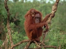 orangutan-download